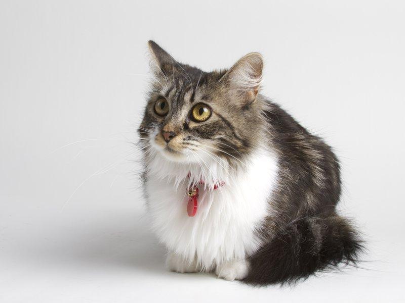 Zener, shop cat